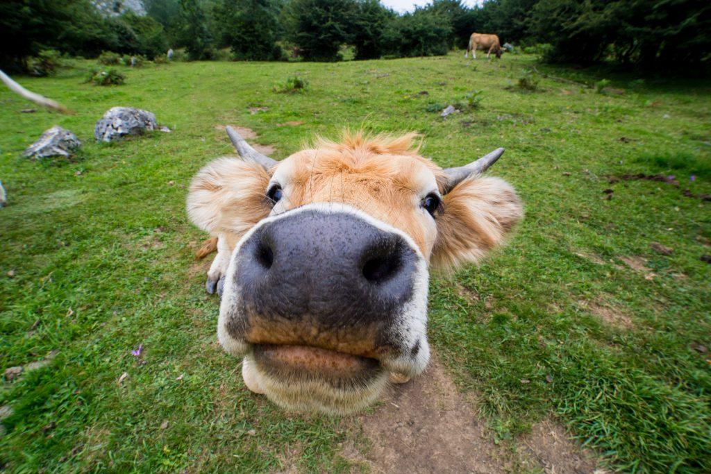 uma vaca